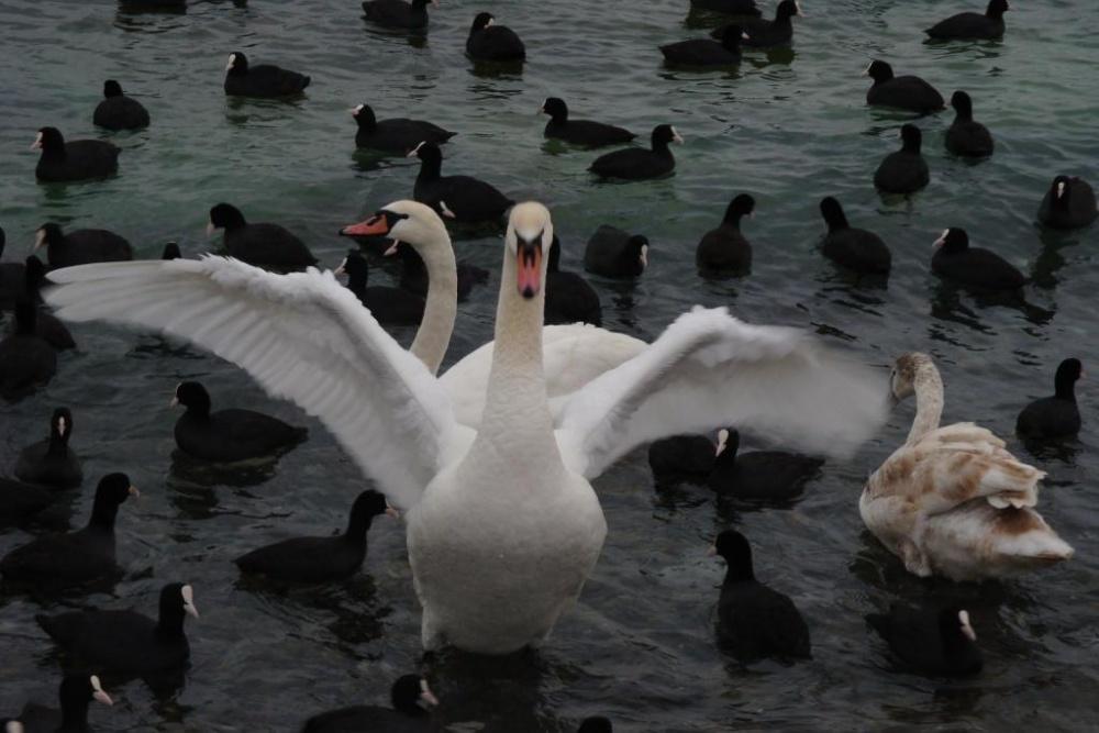 2 лебедя