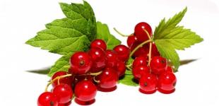 Смородина: полезная ягода, за которой и за границу ездить не надо